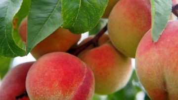 August Is National Peach Month