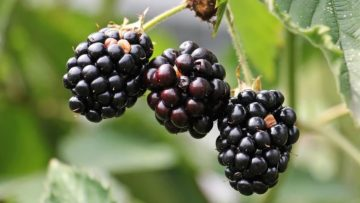 Which Berries Are In Season Now?